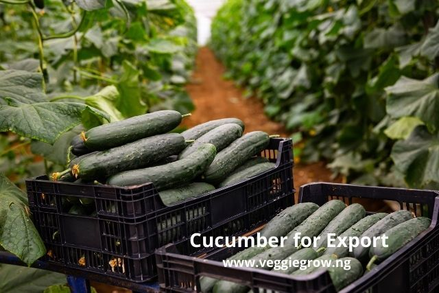 cucumber production for export