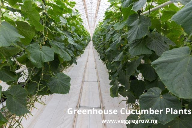 cucumber farming under greenhouse