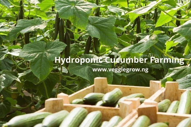hydroponic cucumber farming