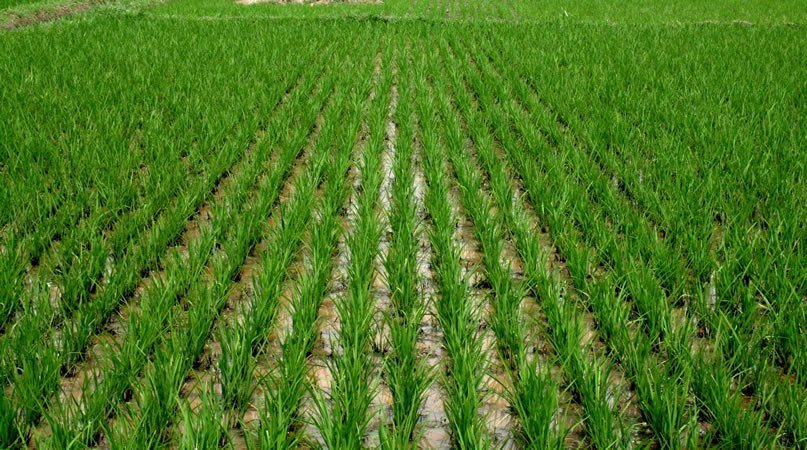 RICE FARMING: AN ALTERNATIVE TO MMM
