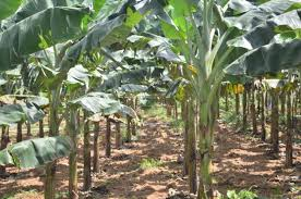 plantain farming in nigeria