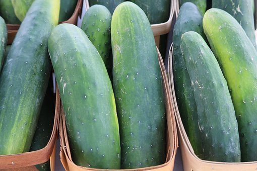 darina F1 cucumber seed