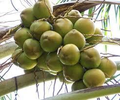 coconut farming in nigeria