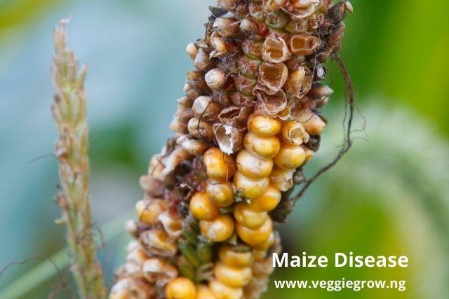 maize disease