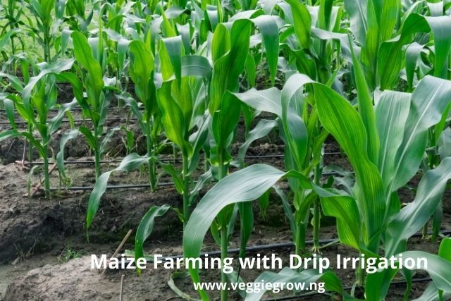 maize farming with drip irrigation