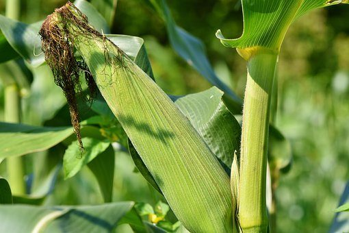 maize production in nigeria