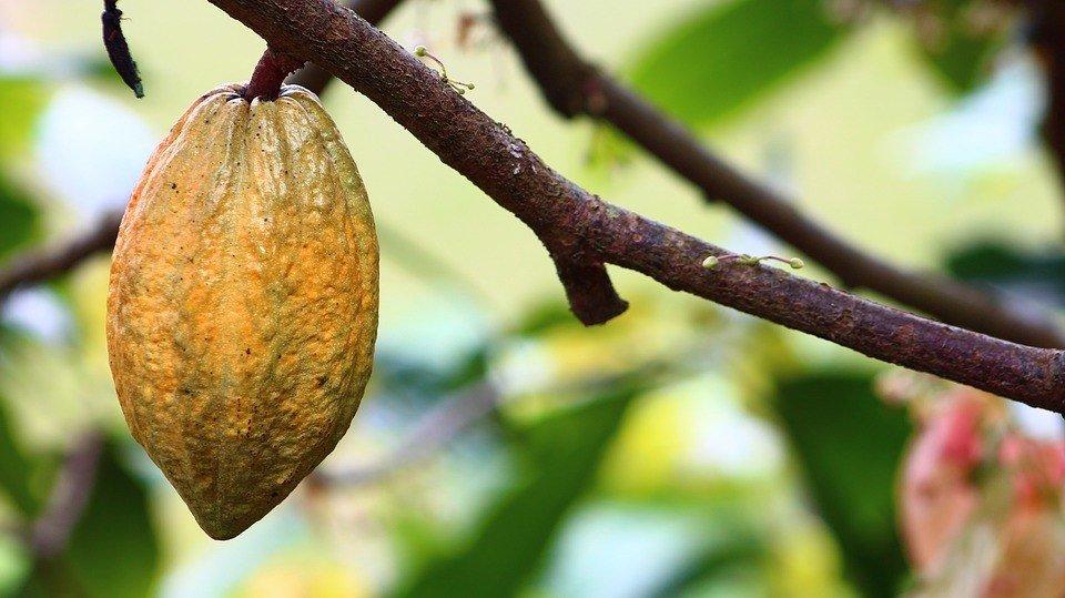 cocoa plantation in nigeria