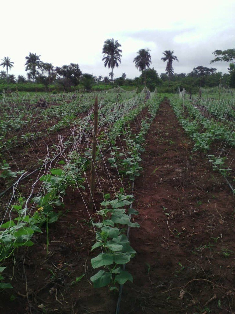 drip irrigation for cucumber farming