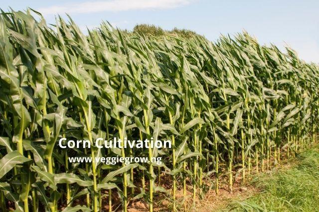 corn cultivation in nigeria